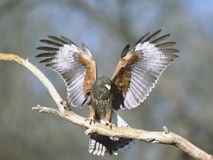 Aguililla de Harris con las alas desplegadas