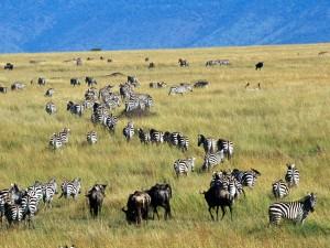 Cebras y ñus en una gran pradera