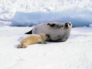 Foca amamantando a su cría