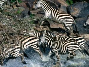 Postal: Cebras cruzando un río