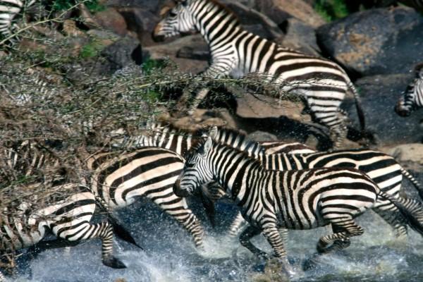 Cebras cruzando un río