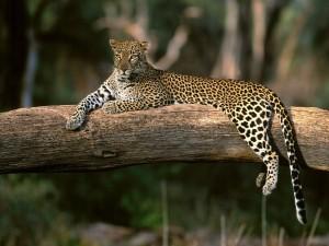 Un bello leopardo tumbado en un gran tronco