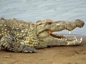 Un gran cocodrilo del Nilo (Crocodylus niloticus)