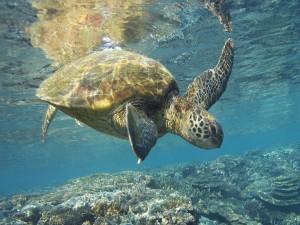 Una tortuga bajo el agua