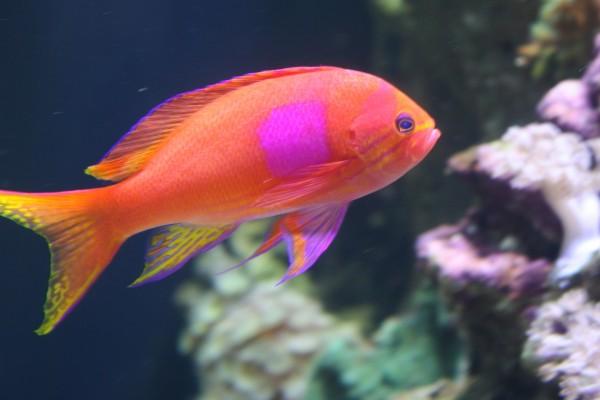 Bonito pez naranja y rosa