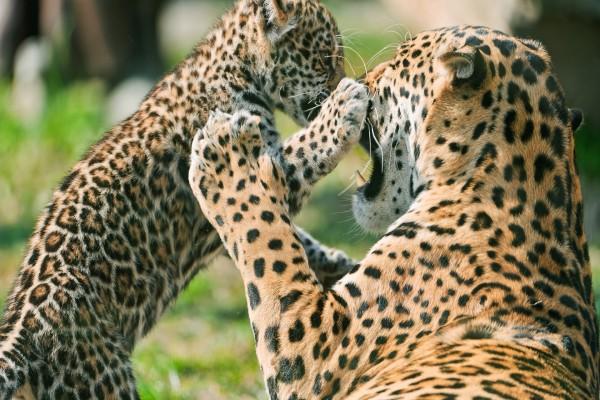 Cachorro de jaguar jugando con su madre