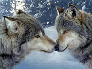 Postal: Dos lobos unidos