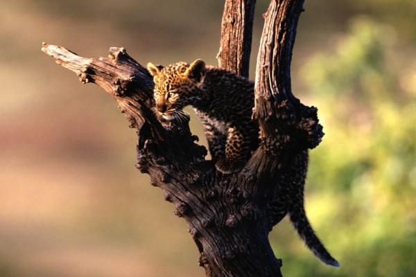 Cachorro de leopardo subido a un árbol