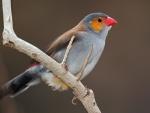 Un pájaro de pico rojo posado en una rama
