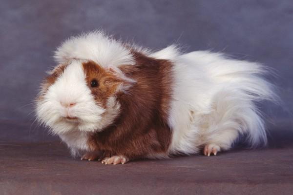 Un conejillo de Indias marrón y blanco