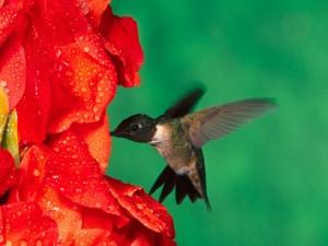 Postal: Un colibrí libando en unas flores rojas