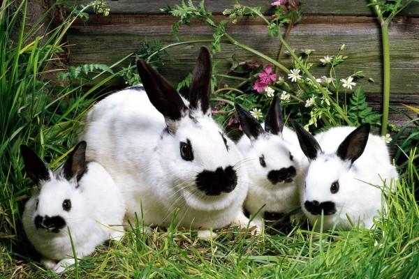 Familia de conejos de color blanco con hocico y orejas negros