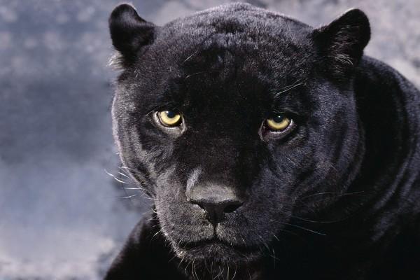 Ojos amarillos de una pantera negra