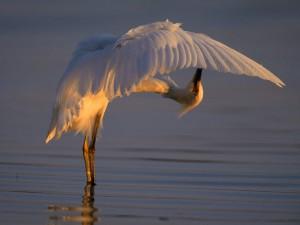 Garza blanca en el agua