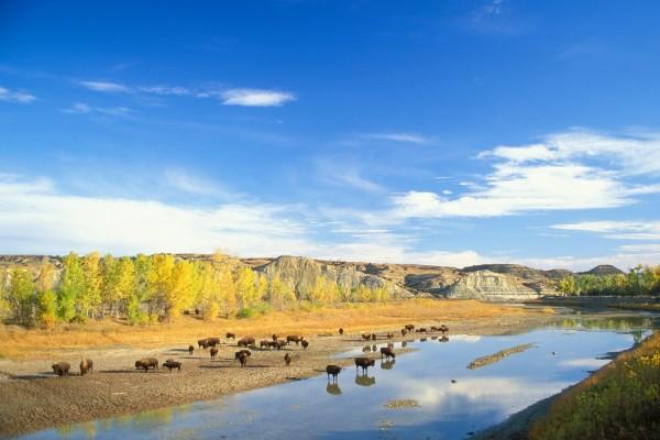Bisontes americanos junto a un río