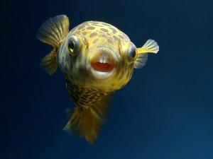 Los dientes de un pez globo