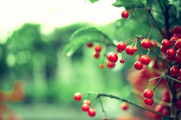 Un árbol con bayas rojas