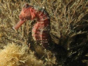 Caballito de mar rojo entre plantas marinas