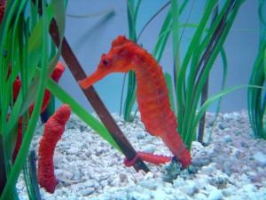 Caballito naranja en un acuario