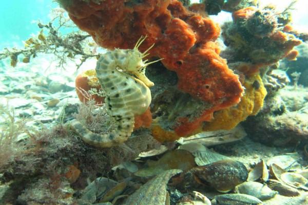 Caballito de mar en el fondo de un acuario