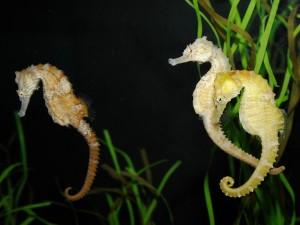 Hipocampos uniendo sus colas