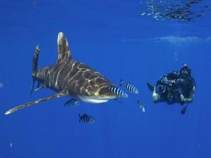 Postal: Buzo fotografiando a un gran tiburón