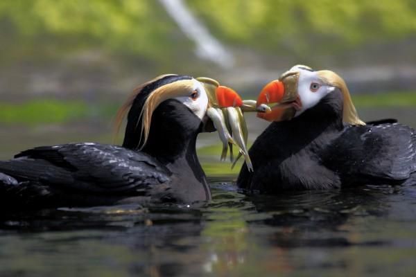Frailecillos coletudo comiendo peces