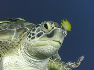 Postal: Un pequeño pez amarillo nadando junto a una gran tortuga marina