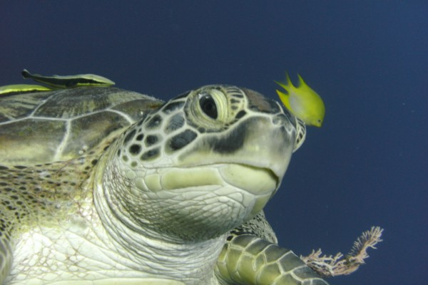 Un pequeño pez amarillo nadando junto a una gran tortuga marina