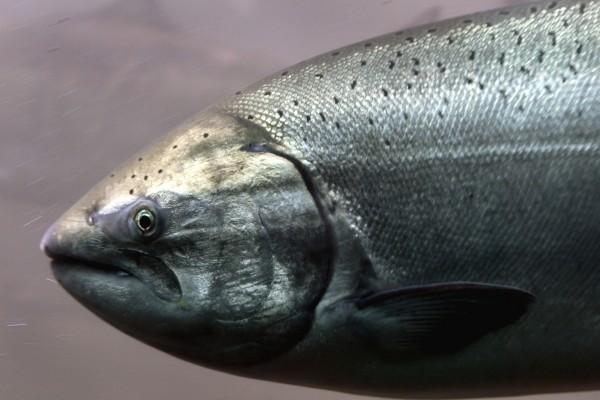 Un gran salmón