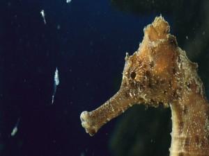 Pequeños crustáceos junto al caballito de mar