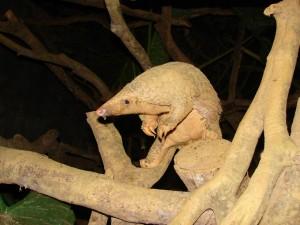 Postal: Pangolín en un árbol