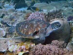 Postal: Una joven tortuga marina