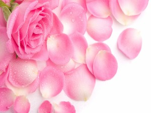 Postal: Gotas de agua sobre los pétalos de una rosa