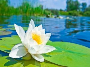 Postal: Flor blanca sobre una hoja de nenúfar