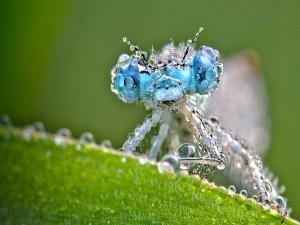 Postal: Una libélula cubierta de pequeñas gotas de agua