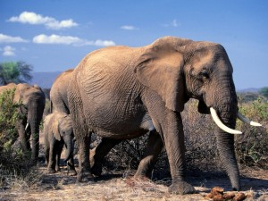 Elefantes africanos caminando