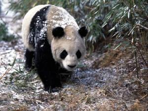 Nieve sobre el oso panda