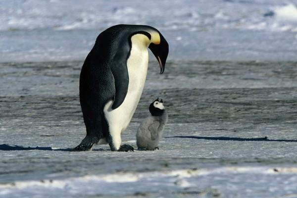 Un gran pingüino junto a un polluelo