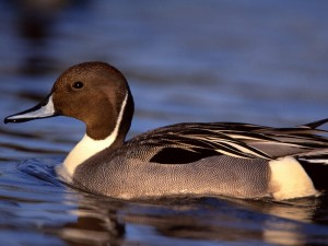 Un pato negro y blanco en el agua