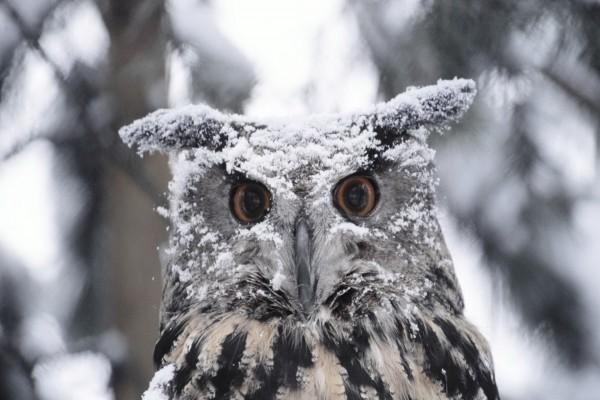 Un búho cubierto de nieve