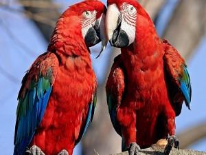 Postal: Dos loros rojos muy amigos