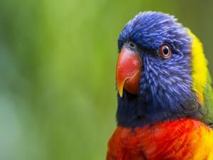 Cabeza de loro con plumas coloridas