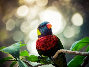 Postal: Lori arcoíris posado en una rama con hojas verdes