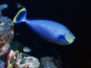 Un pez azul cerca de las rocas marinas