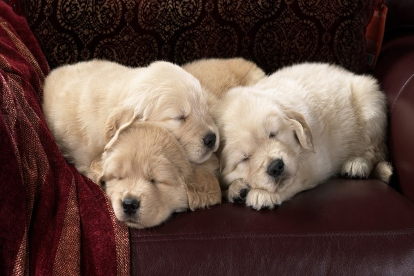 Perros dormidos sobre un sofá