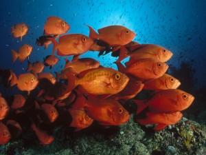 Un banco de peces naranjas