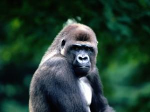 Postal: Un gran gorila enfadado