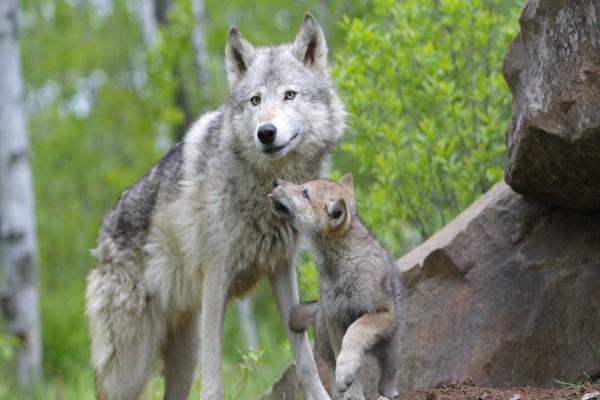 Una loba con su cachorro