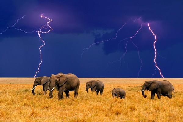 Elefantes huyendo de la tormenta